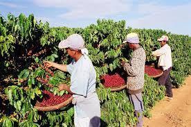 Plano Safra 2020/21: Banestes anuncia recursos para colheita de café e abertura da linha Pronaf Investimento
