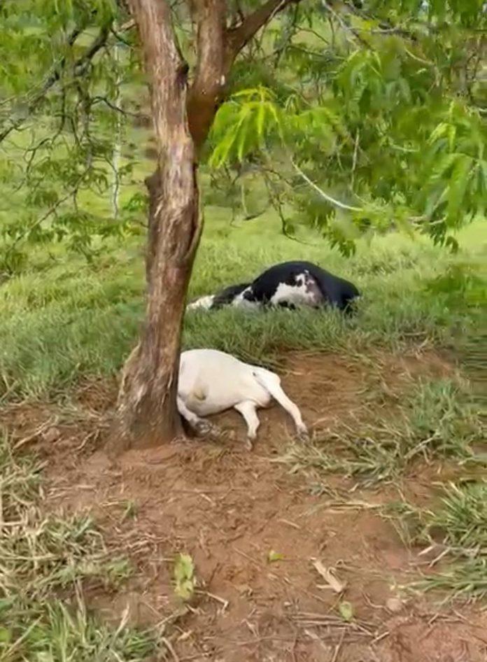 Gado morre após queda de raio em fazenda no interior de Nova Venécia
