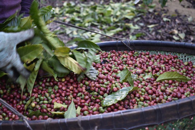 Safra 2021: Cooabriel já tem primeiras entregas de café