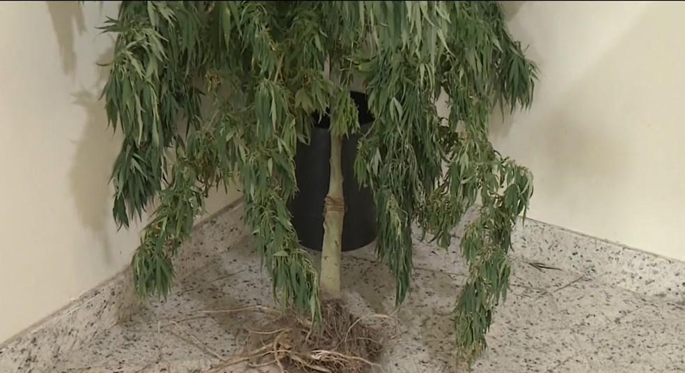 Pé de maconha com quase dois metros de altura é encontrado em casa de Linhares